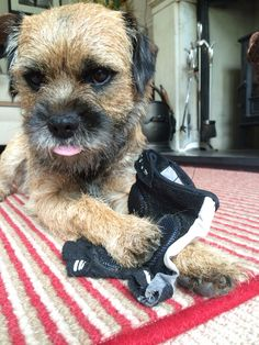 Oh Dear, caught red handed!' - Barney, the Border Terrier Dog chewing his Dad's glove