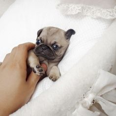 Extreme, micro Teacup Pug, celebrity dogs, tiny teacup puppy for sale $3800