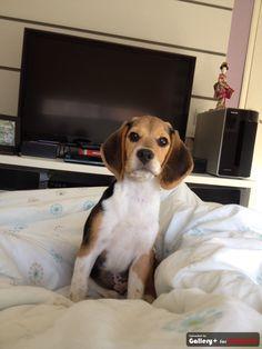 Cacau, Beagle