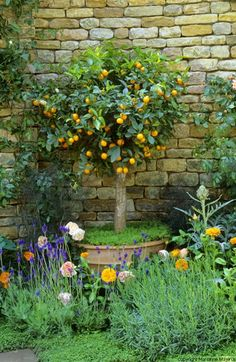 The Herbalists Garden - Orange tree in pot... oh I wish I lived in a warm clime just so I could grow citrus trees. Scratch that... I love cool weather best ;p
