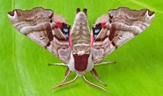Twin-spotted sphinx moth: This species can be found throughout North America, except (interestingly), no where in the southern half or western California.