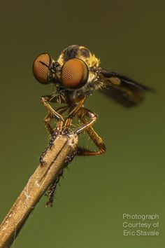 """This is a focus stack of ~3 images. This robberfly is about the size of your pinky finger nail. By """"knowing your subject,"""" I planned for this fly to land on the end of a blade of grass or weeds. I recognize them while they are in flight, as small as they are, and just sit and wait for them to land."""