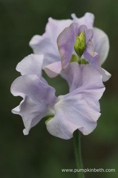 Sweet Pea Superstars! - Pumpkin Beth Sweet Pea Flowers, Blue Flowers, Growing Sweet Peas, Sweet Pea Seeds, Stuff To Do, Things To Do, Pastel Shades, Flower Seeds, Spring Time