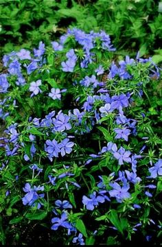 Phlox divaricata 'Blue Moon', Woodland Phlox.  Blooms spring in light open shade.  If regularly irrigated it will take more sun and grow fuller.  Easy ground cover.  Shear faded blossoms lightly to tighten up for the rest of the season. 1ft tall.  Hosts 8 species.