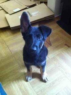 ! #dog #shepherd #animal #german