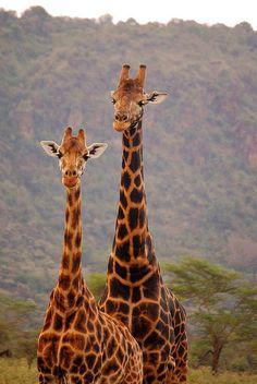 https://flic.kr/p/293zmc | Nice Couple of giraffes |