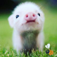 Faccia da venerdì!  #animals #pig #littlepig #instapig #instaanimals #animalover #animalofinstagram #friday #venerdi #april #picoftheday #bestoftheday #photooftheday #milan #milano #womboit