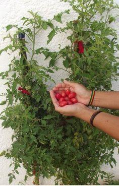 Como plantar Tomate cereja - Brotando Consciência