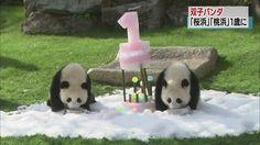 双子のパンダ 1歳になりました Pretty Baby, Panda Bear, Animals, Animales, Animaux, Pandas, Panda Bears, Animal, Panda