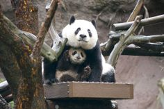 The San Diego Zoo just posted this adorable photo (by Mollie Rivera) of panda cub Xiao Liwu using his mom, Bai Yun, as an umbrella. Panda Love, Love Bear, Animals And Pets, Baby Animals, Cute Animals, Animal Babies, Fat Panda, Panda Panda, Animals Beautiful