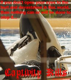 Artificial pods in captivity lead to aggressive behaviors between the orcas who are forced to live together. In the wild they would live with their families, and no attempts at killing one another would ever occur.   Captivity Kills. Don't buy a ticket!