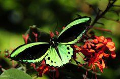 Butterflies: Common Green Birdwing