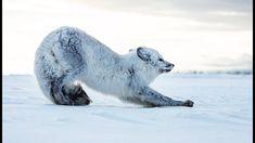 Ce petit renard polaire doit survivre tout seul - ZAPPING SAUVAGE