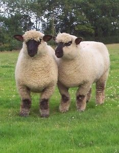 Oxford breed sheep.  My aunt says that this is the breed that was raised on the family farm generations back.  Now her grandson is raising them again.