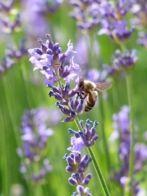 Dossier Eau florale de lavande - Lavandula vera - Propriétés, utilisations, recettes santé et bien-être.