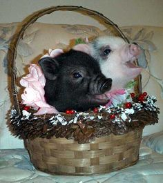 http://www.valentinesperformingpigs.com/images/piglets_3.jpg