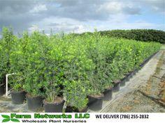 podocarpus palm beach   Your premier grower of tropical plants, We deliver