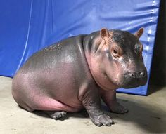 It's Sunday, so please watch a baby hippo freak completely out about bubbles!