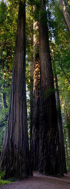 Redwoods   The massive scale of at the coastal redwoods in Stout Grove, Jedediah Smith State Park, California, US.