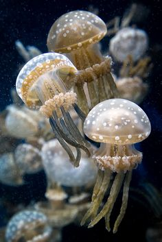 Spotted jelly at the Monterey Bay Aquarium