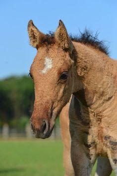 Fohlen 2015 - Riverside Curly Horse Ranch - Europa's größte Curly Zucht