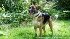 Goldimplantate beim Hund mit HD