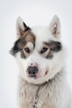 handsomedogs - non-wolfdogs: Greenland Dogs Puppy Dog Puppies Dogs Pet Dogs, Dogs And Puppies, Dog Cat, Beautiful Dogs, Animals Beautiful, Greenland Dog, Animals And Pets, Cute Animals, Snow Dogs