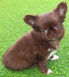 Long Haired Chihuahua Puppies, Long Coat Chihuahua, Baby Chihuahua, Baby Puppies, Shelter Dogs, Animal Shelter, Animal Rescue, Mastiff Dogs, Cute Animal Pictures