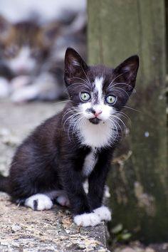 little stray kitten black white   Flickr: Intercambio de fotos