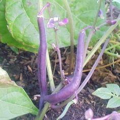 Grow These 3 Heirloom Bush Beans in Your Garden Love Garden, Lawn And Garden, Garden Ideas, Edible Plants, Edible Garden, Farm Gardens, Outdoor Gardens, Gardening For Beginners, Gardening Tips