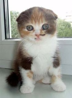 scottish fold. if you change your mind on the allergy shots, I will immediately adopt one of these...