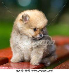 """Fluffy Pomeranian Puppy"" - Dog Stock Photos from Go Graph"