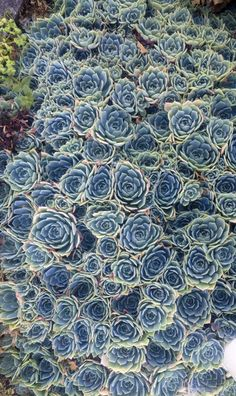 Clusters of hens and chicks in New Zealand (photo by Brandon Mably, Kaffe Fassett Studio)