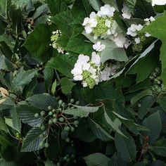 Mountain Ash & Oakleaf Hydrangea 🌿#wollamgardens #localflowers #virginiagrown #laboroflove How To Get Warm, Say Hello, Spring Flowers, Hydrangea, Ash, Wedding Flowers, June, Mountain, Weddings