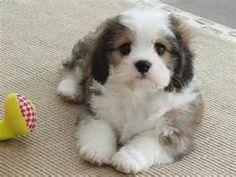 Cute CavaChon - Bing Images