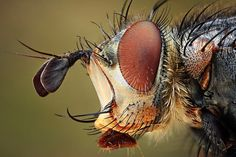Bug portraits: detailed macro pictures of insects by Dusan Beno - Telegraph - a common fly