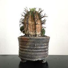 Euphorbia meloformis 'Super Valida'