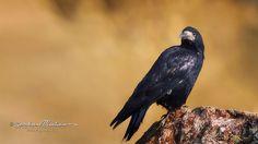 Ekin Kargası / Rook / Corvus frugilegus Ankara / Turkey wingspan; 80-90 cm
