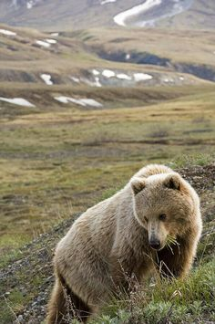Lucky enough to have gone there and saw 2 bears playing together and catching a ground squirrel, AMAZING! Adult Brown Bear standing on tundra in Denali National Park, Alaska Polar Bear, Grizzly Bears, Big Bear, Animals Of The World, Wildlife Art, My Animal, Big Cats, Animal Photography, Mammals