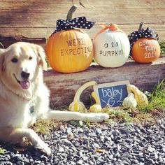 fall pregnancy announcement: for winter, maybe use mugs instead Pumpkin Pregnancy Announcement, Pregnancy Announcement Photography, Pregnancy Announcements, Pregnancy Photos, Baby F, My Baby Girl, Pregnant Dog, Fall Maternity, Baby In Pumpkin
