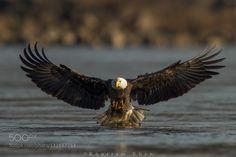 Eagle Spread by mkhanz25 #animals #pets #fadighanemmd