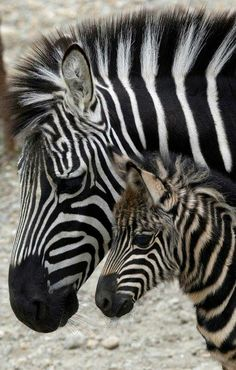 No animal has a more distinctive coat than the zebra. Each animal's stripes are as unique as fingerprints—no two are exactly alike.