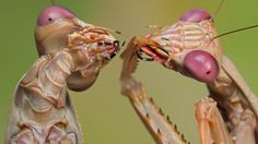 """""""AMAZING ALIEN INSECTS UP CLOSE Showcasing cool pictures of very alien close ups of insects by photographer Igor Siwanowicz. Igor is an expert in macro photograph and talented nature. Cool Insects, Bugs And Insects, Macro Pictures, Cool Pictures, Cool Photos, Amazing Photos, Nature Pictures, Foto Macro, Mantis Religiosa"""