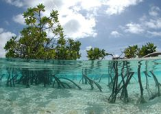 Mangrove Prop roots supply air to the underlying roots and provide support and stability to the mangrove.