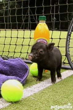 petpiggies uk | Petpiggies micro pigs in the Wimbledon Guardian | Petpiggies