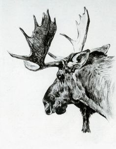 Young Bull by Carl Rungius | Art Posters & Prints