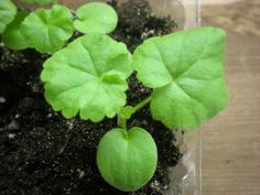 Пеларгонии из семян - Бархатный Листочек-пеларгония