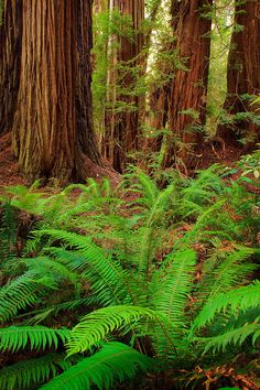 ✯ Redwoods and sword ferns in Redwood National Park, California