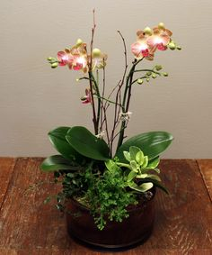 Our Miniature Orchid Garden features elegant miniature orchids along with an assortment of miniature indoor plants and ferns. All highlighted with branches and river stones. If properly cared for, orchids will bloom for months. Select either white,...