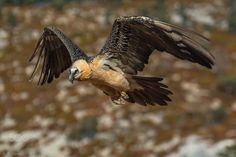 Gypa flight - http://jcfajardophotography.com/  Quebrantahuesos / Lammergeier / Gypaetus barbatus